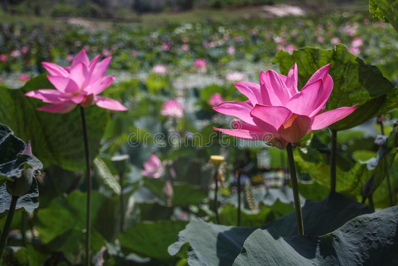Wielcy piękni kwitnie różowi lotosy na tle zieleni liście Zako?czenie obraz royalty free