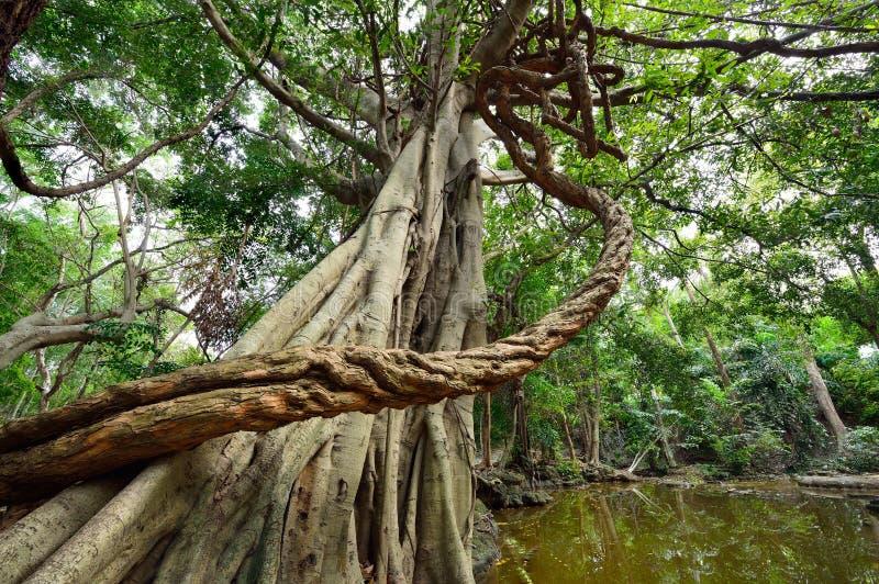 Wielcy winogrady zawijający wokoło drzewa obrazy royalty free