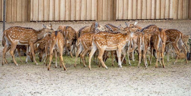 Wiele Śliczni łaciaści ugorów deers je wpólnie jeden patrzeją w kamerę zdjęcia stock