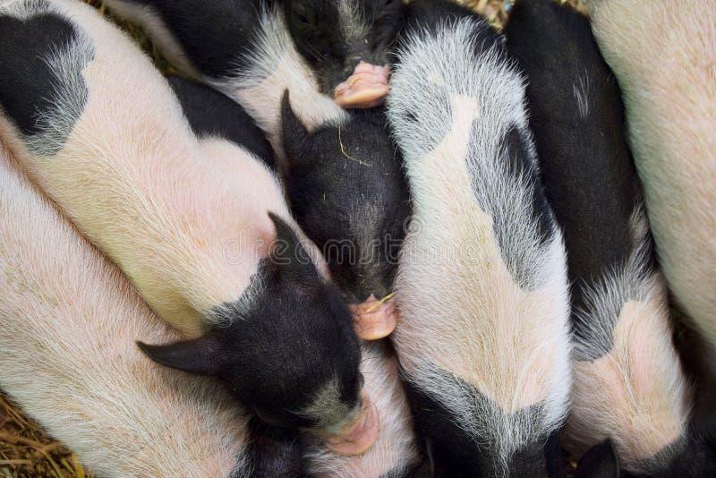 Wiele świni menchii karłowata skóra z czarną łaciastą pozycją na słomie Odgórny widok zdjęcie royalty free