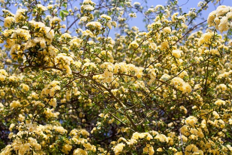 Wiele żółtych róż kwiaty, Rosa banksiae lub dama banków róży kwiatu kwitnienie w lato ogródzie, zdjęcia stock