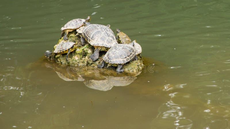 Wiele żółwie siedzi na skale zdjęcia royalty free