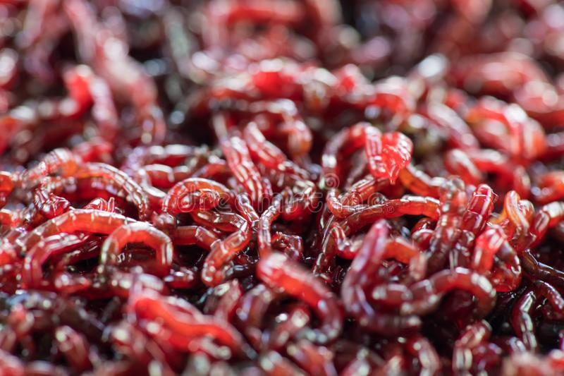 Wiele żywi dżdżownic bloodworms są czerwonym zbliżeniem fotografia royalty free