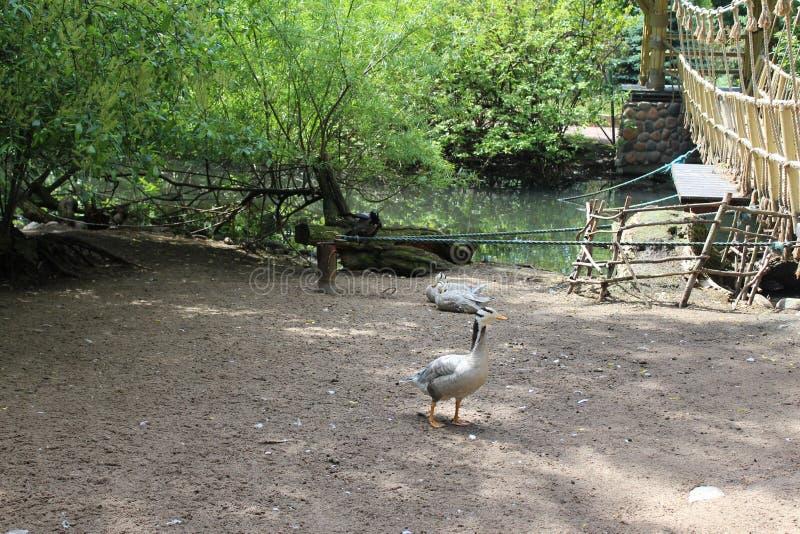 Wiele biali gooses z czarnymi lampasami na ziemi w lecie w zoo St Petersburg zdjęcie stock
