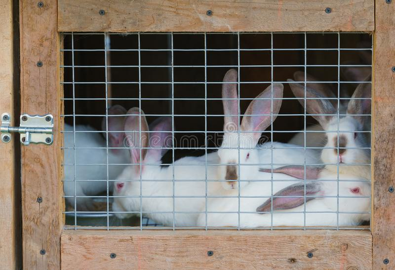 Wiele biali króliki w hutch zdjęcie stock