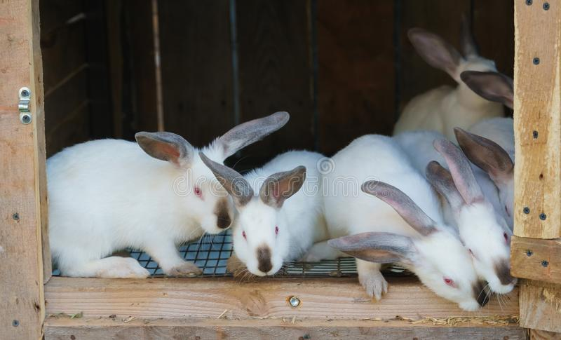 Wiele biali króliki w hutch fotografia royalty free