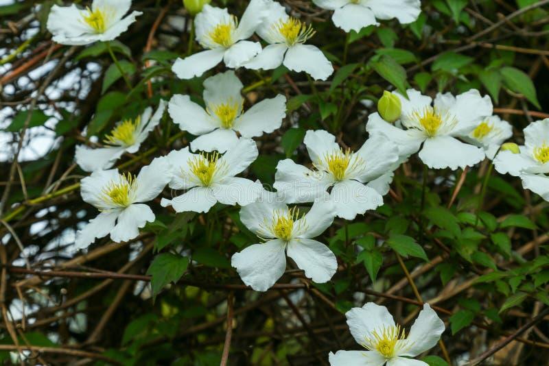 Wiele biali kwiaty Clematis armandii obraz royalty free