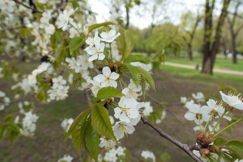 Wiele biali kwiaty na gałąź wiśnia obraz stock