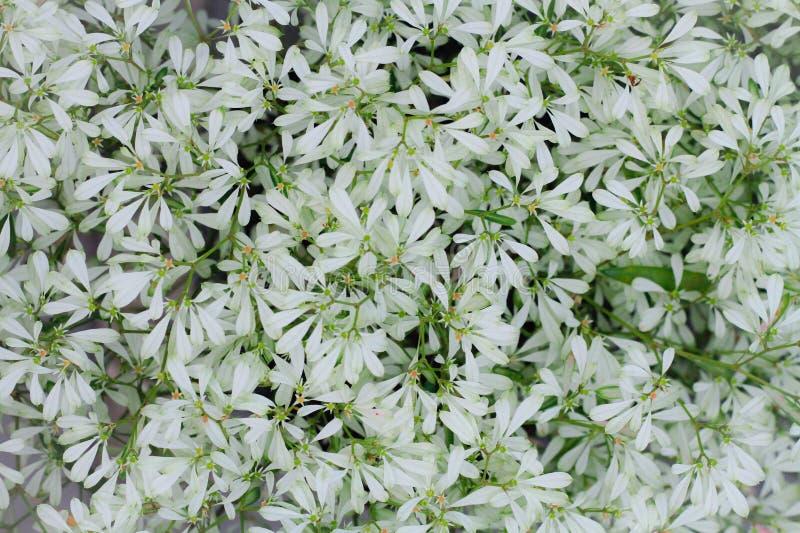 Wiele biali kwiaty używają dekorować sklepy z kawą obrazy stock
