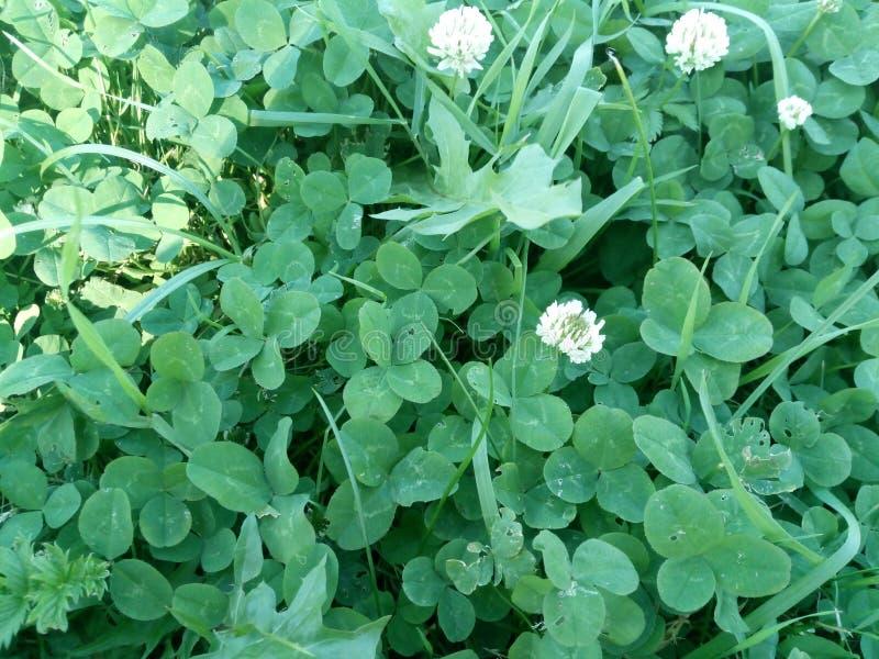 Wiele cztery liści koniczyna na zielonej trawie fotografia stock