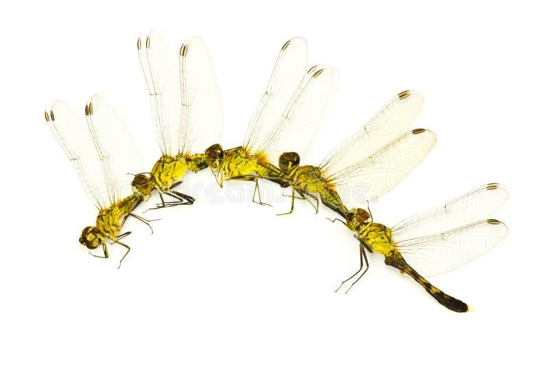 Wiele Dragonfly. fotografia royalty free