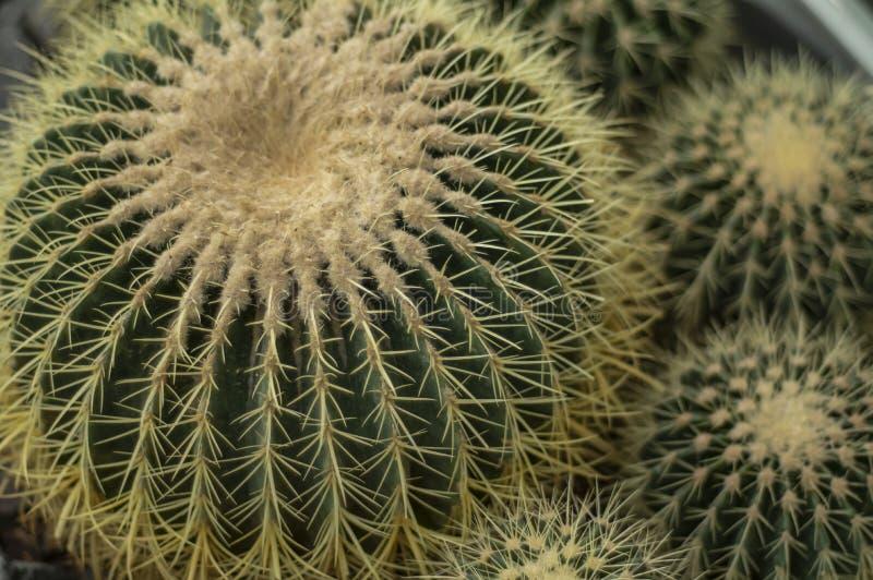 Wiele Echinocactus Grusonii kaktusa rośliny obraz stock