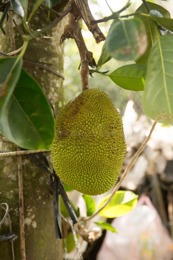 Wiele Jack owoc na drzewie, wiązka dźwigarek owoc na drzewie zdjęcia stock