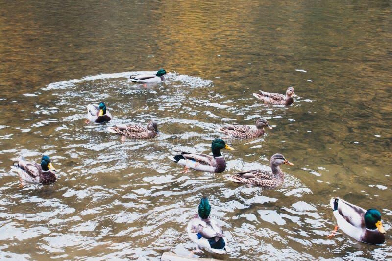 Wiele kaczek pływanie w jeziorze obraz royalty free