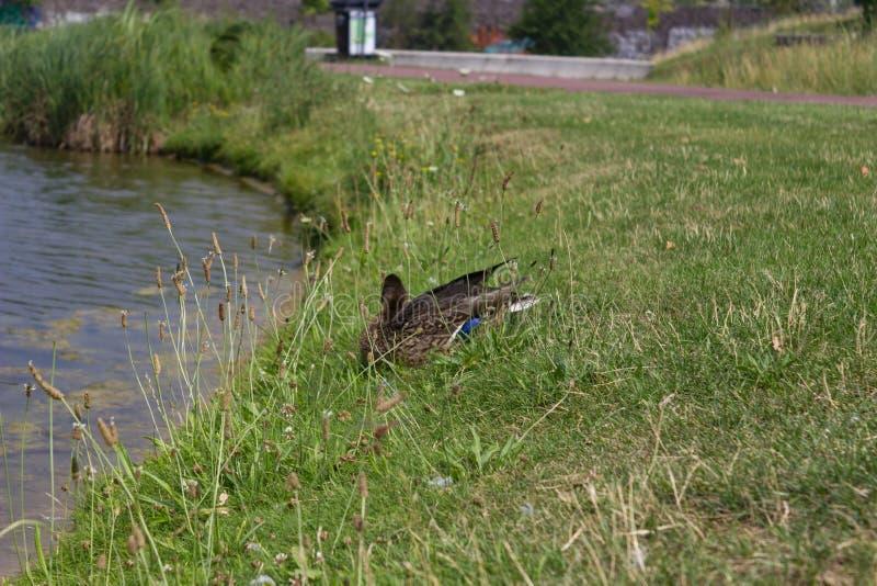 Wiele kaczki na jeziornym brzeg fotografia stock