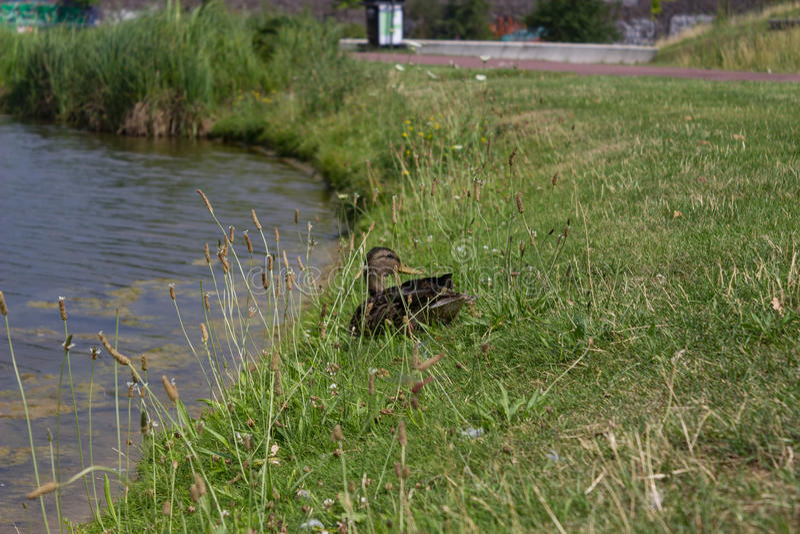 Wiele kaczki na jeziornym brzeg fotografia royalty free