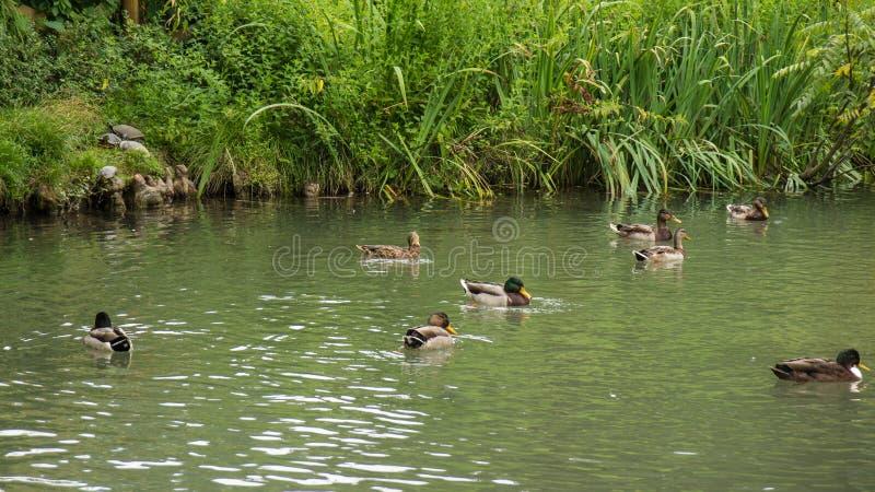 Wiele kaczki pływa w stawie fotografia royalty free