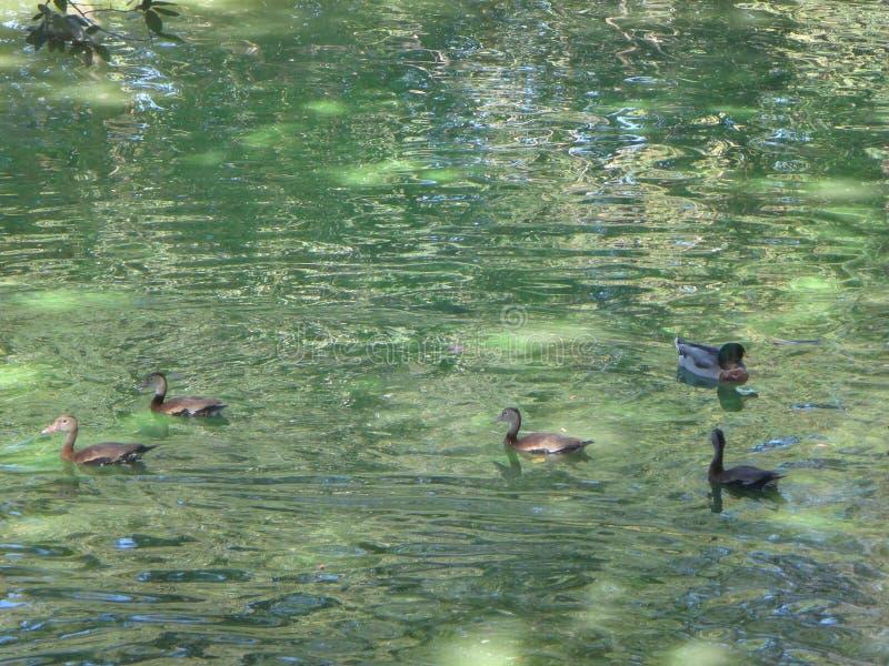 Wiele kaczki w jeziornym dopłynięciu zdjęcie royalty free