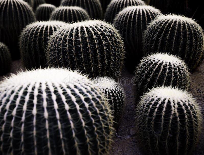 Wiele kaktusowe piłki zakrywać igłą zdjęcie royalty free