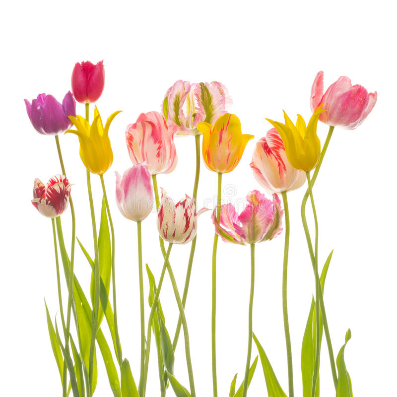 Wiele kolorowi piękni tulipany zdjęcie stock