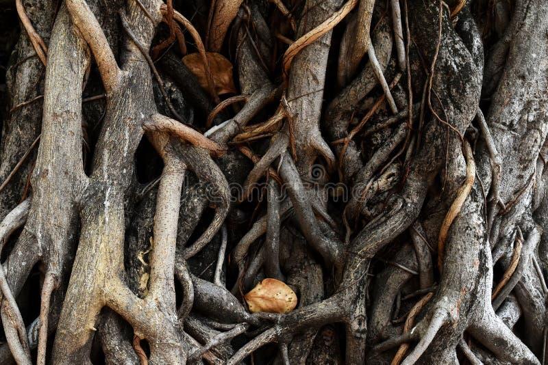 Wiele korzeń drzewo fotografia royalty free