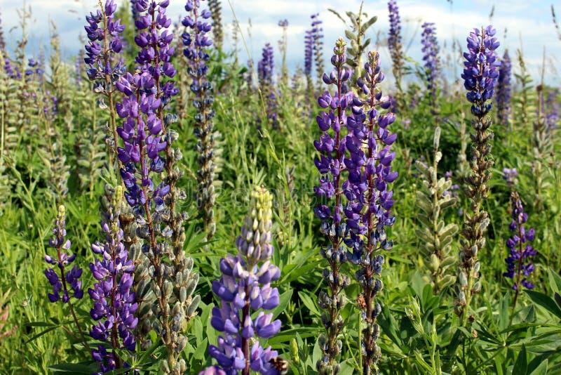 Wiele kwiaty łubiny w polu Piękni wysocy kwiaty w lecie zdjęcia royalty free