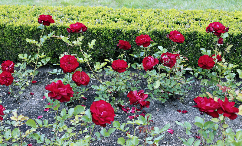 Wiele kwiaty piękne czerwone róże fotografia royalty free