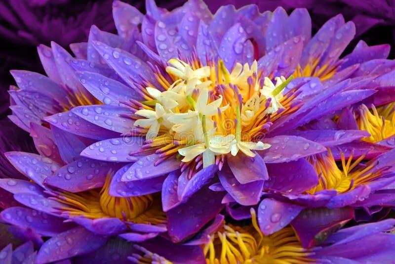 Wiele lotosowych kwiatów zakończenie z rosa kroplami piękny kwiecisty purpurowy żółty tło obraz royalty free