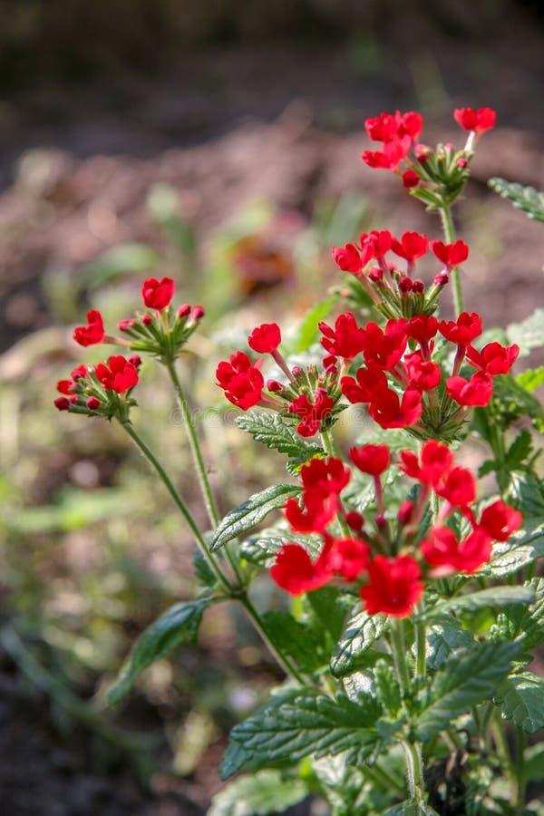 Wiele mali czerwień kwiaty na zieleni wywodzą się na słonecznym dniu Pączki są otwarci Vertical rama obraz royalty free