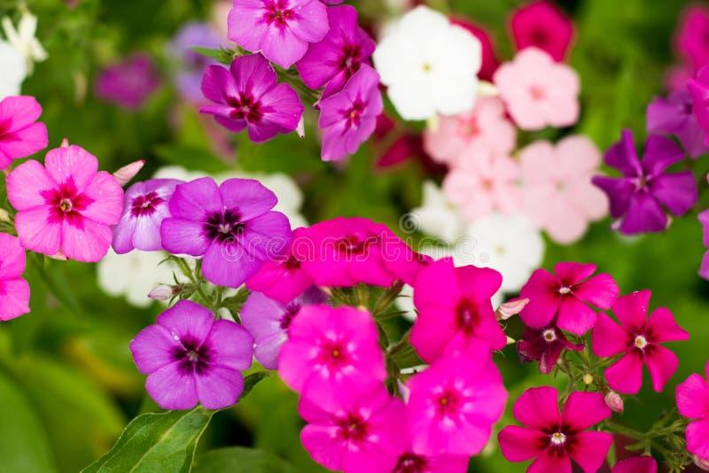 Wiele mali kwiaty z jaskrawymi wielo- barwionymi płatkami Makro- obrazy stock