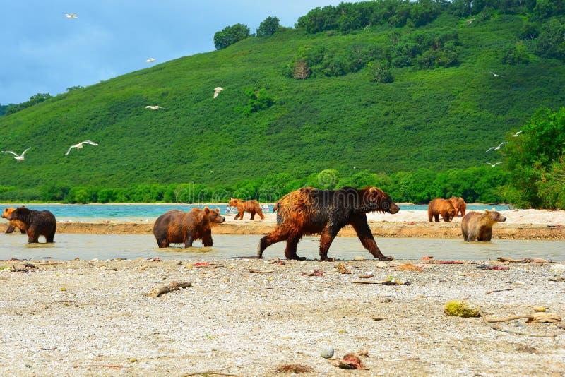 Wiele niedźwiedzie tropią na dzikim łososiu obraz stock