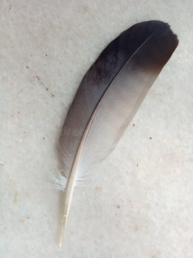 Wiele odcieni szarości w piórku gołębi obrazy stock