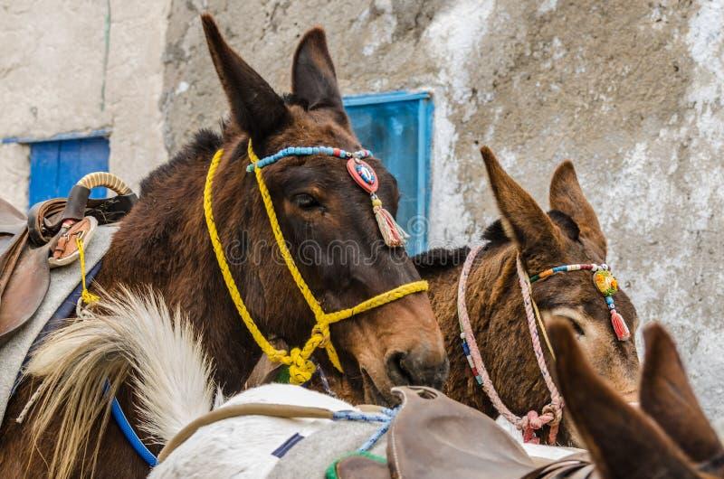 wiele osły w Santorini obraz royalty free