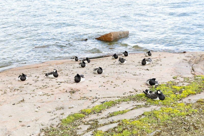 Wiele pąkli gąski ptaki przy dennym wybrzeżem obrazy stock