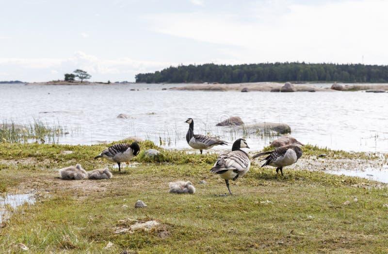 Wiele pąkli gąski ptaki przy dennym wybrzeżem fotografia stock