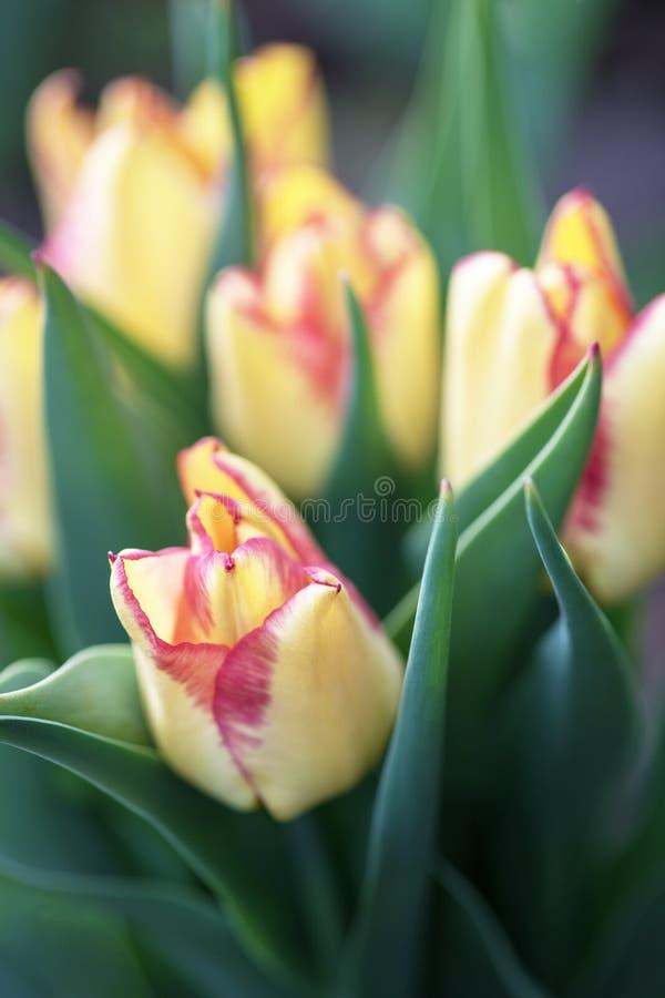 Wiele piękni żółci Holenderscy tulipany w ogródzie fotografia royalty free
