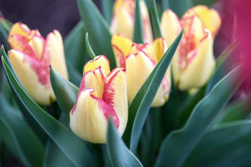 Wiele piękni żółci tulipany w ogródzie zdjęcia royalty free