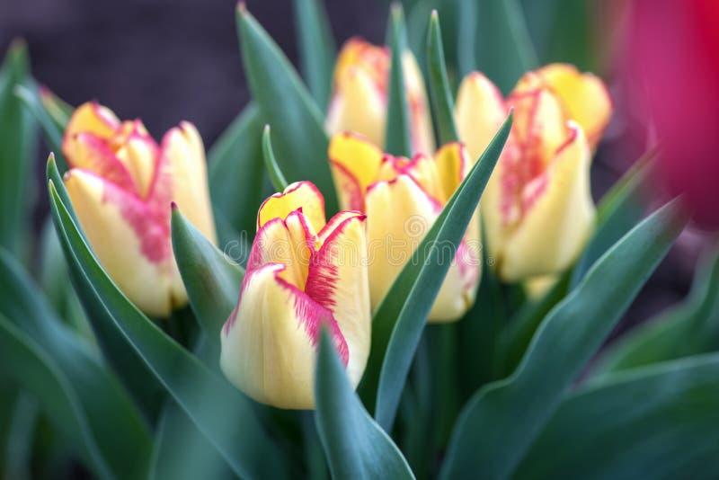 Wiele piękni żółci tulipany w ogródzie obrazy royalty free