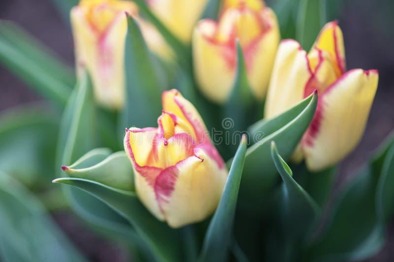 Wiele piękni żółci Holenderscy tulipany w ogródzie obrazy stock