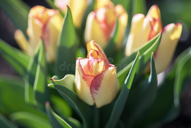 Wiele piękni żółci Holenderscy tulipany w ogródzie zdjęcie stock
