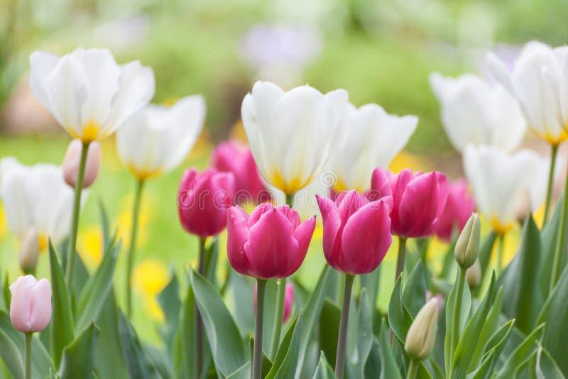 Wiele piękni tulipany z różnymi colours w ogródzie obrazy stock