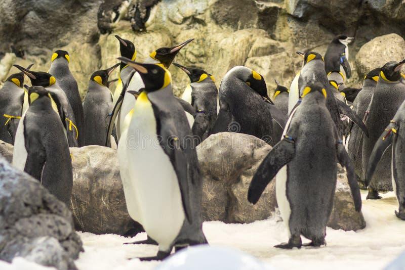 Wiele pingwiny przy zoo zdjęcie royalty free