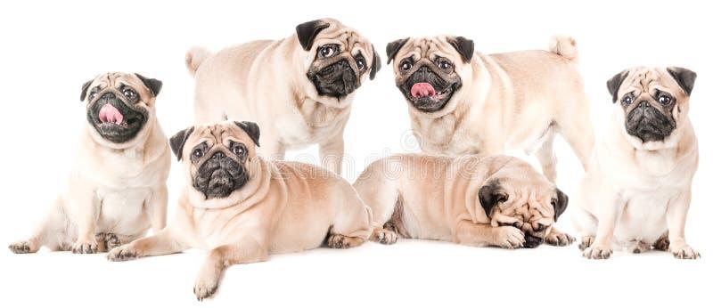 Wiele psy, mopsy, odizolowywający zdjęcie royalty free