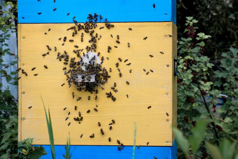 Wiele pszczoły siedzi na ścianie rocznika żółty błękitny ul basy i zdjęcie royalty free