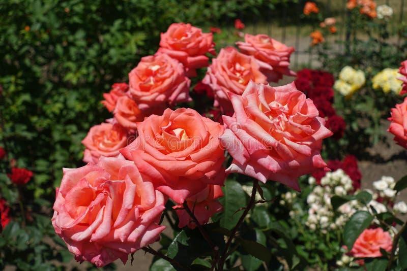 Wiele różowawi pomarańczowi kwiaty wzrastali zdjęcia stock