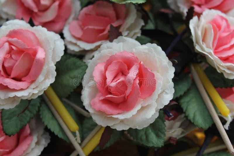 Wiele sandałowów kwiaty biali i różowy kolor fotografia royalty free