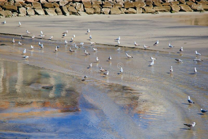 Wiele seagulls są siedzący na piaskowatej płytkiej wodzie wygrzewa się i odpoczywa, zdjęcia stock