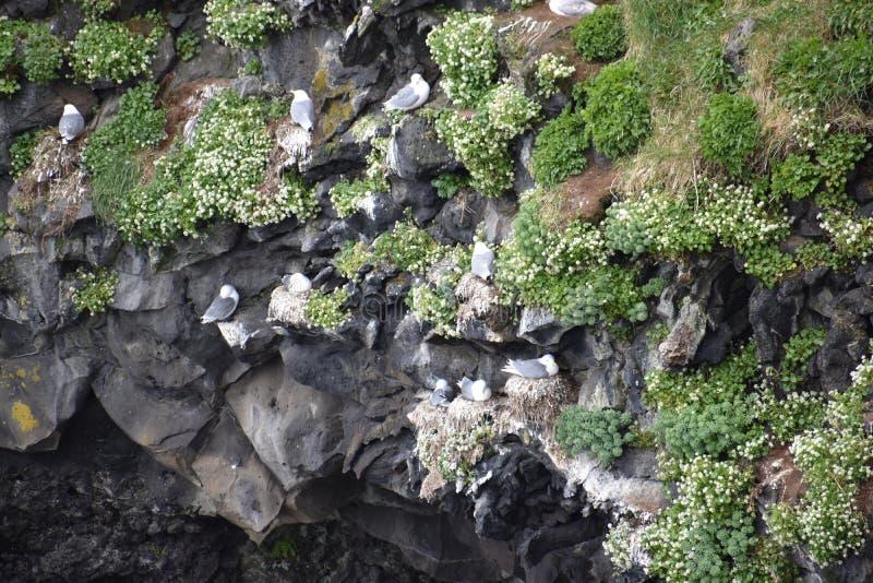 Wiele seagulls siedzi w skale przy oceanem w Iceland zdjęcia royalty free
