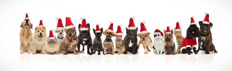 Wiele uroczy zwierzęta domowe różni trakeny jest ubranym Santa kapelusze obrazy stock