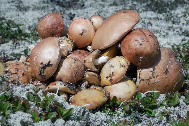 Wiele wyśmienicie świeżo dzikie jadalne pieczarki zbierali w jesieni tundrze wśród mech i trawy obrazy royalty free